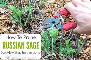 Pruning Russian Sage  Step-by-step Instructions