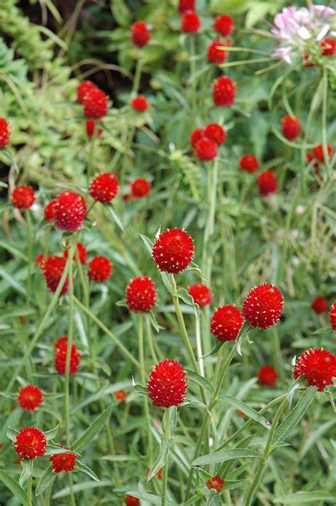 strawberry fields gomphrena gomphrena haageana