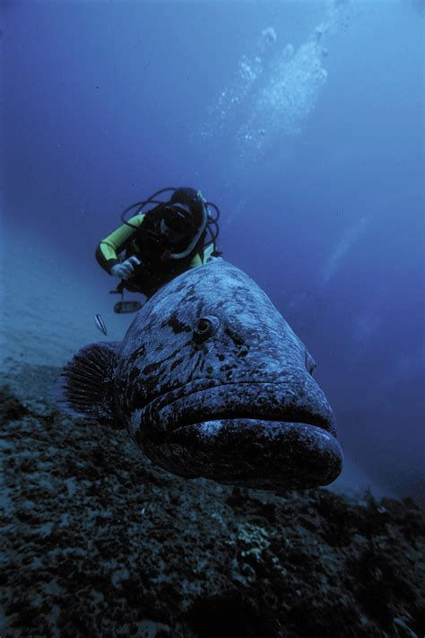 lionfish predators natural predator cyprus doing scuba monkey groupers