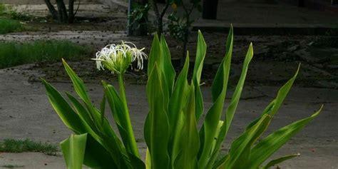tanaman liar indonesia bisa jadi obat mujarab kanal aceh