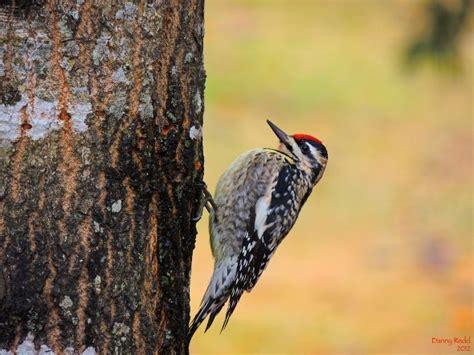 woodpecker north carolina pinterest
