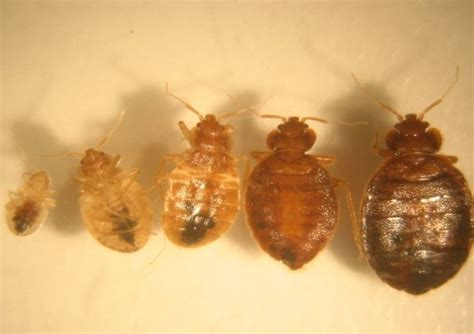 bed bugs middlesex london health unit