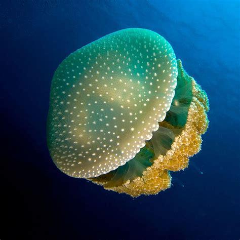 Aparici en Órbita s02e41: Las medusas, un superdepredador ...