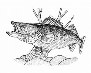 How to draw fish- walleye