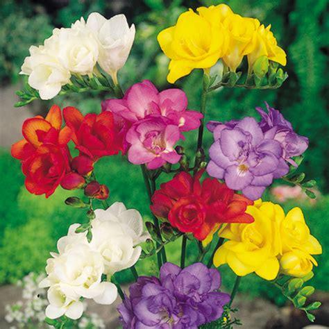 freesia corms mix all flower bulbs flower