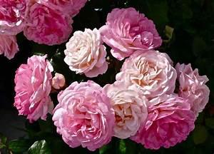 Begleitpflanzen Für Rosen : rosen f r schattige standorte ~ Lizthompson.info Haus und Dekorationen
