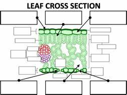 Structure of the leaf by amcooke - Teaching Resources - Tes