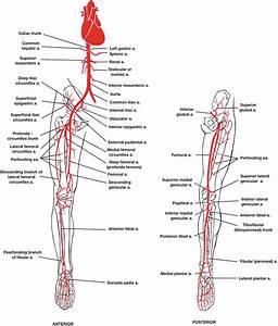 28 Arteries Of The Leg Diagram