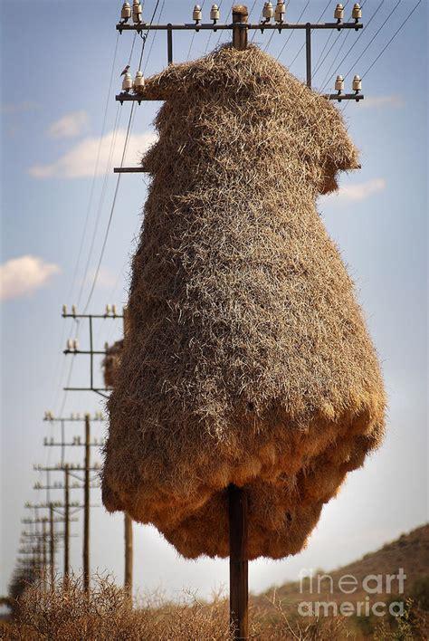 Huge birds nest on pole Photograph by Michael Edwards