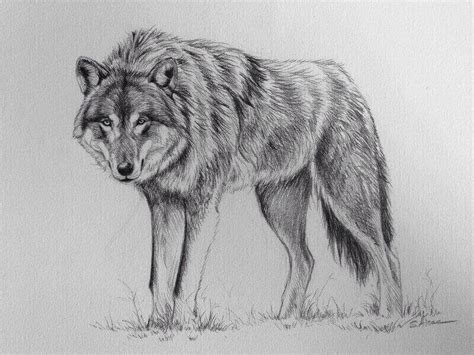 wolf drawing stephane alsac
