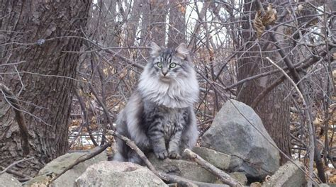 images  siberian cats  kittens