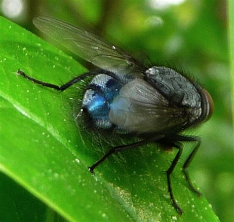 calliphora vicina mouche 224 cul bleu le monde des insectes