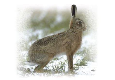 cuisiner un lapin entier lièvre comment cuisiner le lièvre sur gourmetpedia la