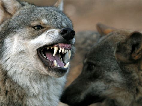 mad  disease leads  hyper aggressive wolves