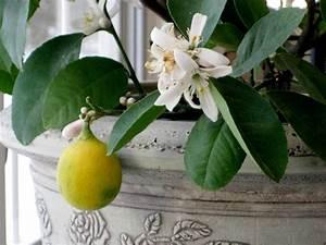 Prix D Un Citronnier : citronnier conseil jardinage application en ~ Premium-room.com Idées de Décoration