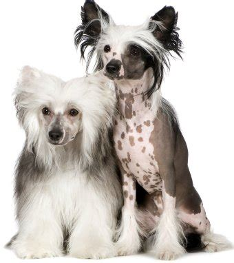 chinese crested history personality appearance health