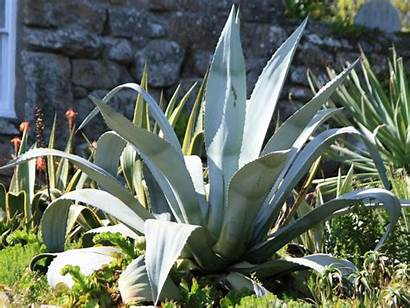 Plant Century Agave Problems Americana Growing Worldofsucculents