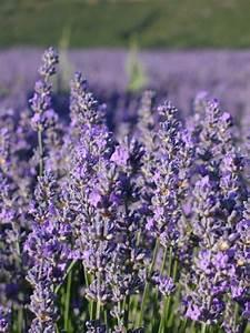 Prix De La Lavande : producteur plantes aromatiques naturelles biolandes 300 ~ Premium-room.com Idées de Décoration