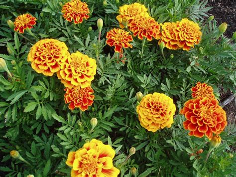 marigold insect repellent natural mosquito repellent ideas for your outdoor space