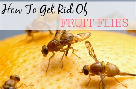 Tips On Getting Rid Of Fruit Flies With Rubbing Alcohol. Living Room Ideas With Brown Couch. Open Plan Kitchen Living Room Designs. Living Room With Cherry Wood Floors. Living Room Display Cabinets. Units For Living Room. Comfortable Living Rooms. Stylish Living Room Curtains. Hgtv Pictures Of Living Rooms