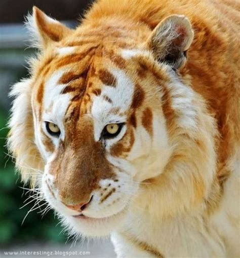 Interestingz Beautiful Unusual Golden Tabby Tiger