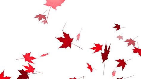 Animated Falling Leaves Wallpaper - falling maple leaves animation with alpha channel stock