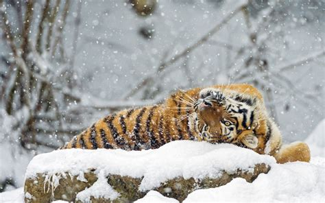 Animals In Snow Wallpaper - tiger rolling in snow wallpaper animal wallpapers 33722