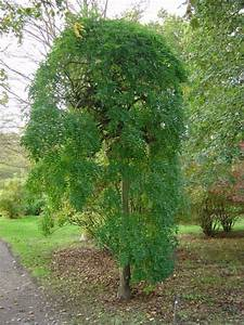 sophora japonica 39pendula39 jardin mellifere With amenagement petit jardin mediterraneen 8 les pepiniares du val derdre trouver une plante
