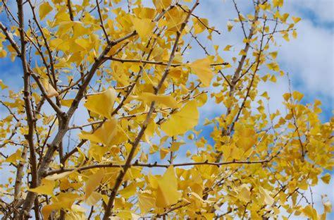 ginkgo biloba trees good fall foliage choice