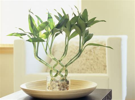 Plants For The Bathroom Feng Shui by Lucky Bamboo Feng Shui Meaning And Use