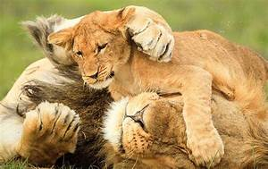 Lion And Cub Quotes  Quotesgram