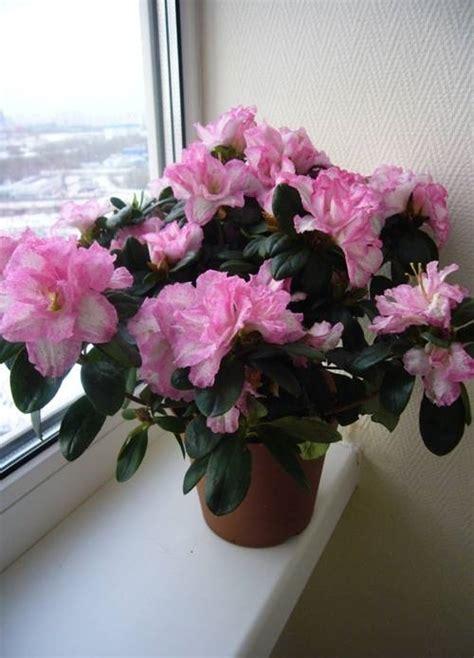 azalea in vaso azalea azalea piante da giardino caratteristiche