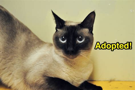 Siamese Mix  Dogs And Cats Forever, Inc