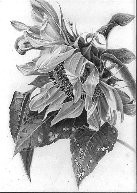 Image Result For Sunflower Drawing Things To Drawpaint