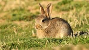 un petit lapin de garenne