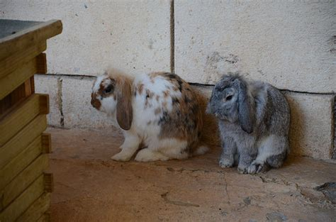 Holland Lop Or Lop Eared Rabbits That Part Of The Zoo