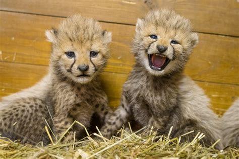 Five Cheetah Cubs Born In Prague Zoo The Czech Journal