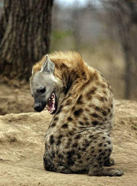 hyena ideas  pinterest