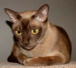 burmese cats burmese cat pictures and info