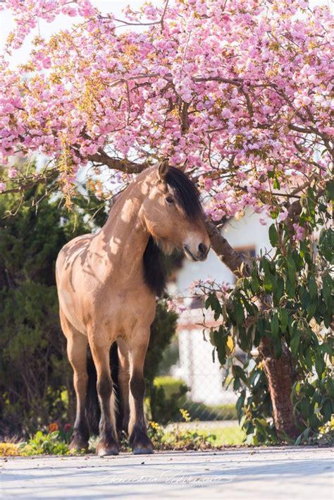 kirschbluetenshooting pferde pferde fotografie pferdefotos