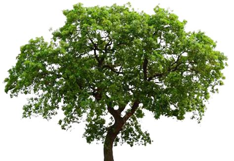 Tree Images No Background by Oak Tree Transparent Background