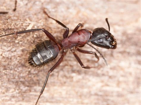 carpenter ants ways to send carpenter ants on the run hgtv