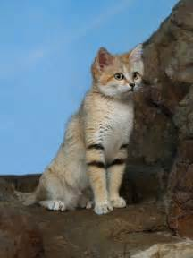 sand cats for sand cat