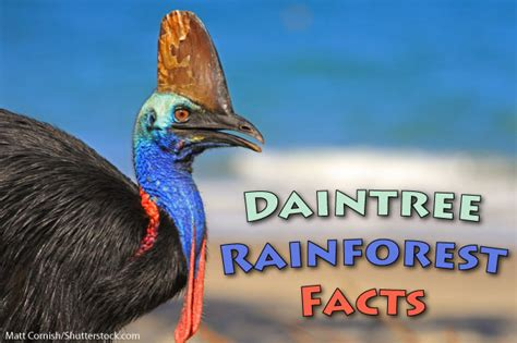 daintree rainforest facts information  pictures video