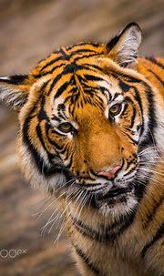 Malayan Tiger | Malayan tiger, Tiger, Bengal tiger