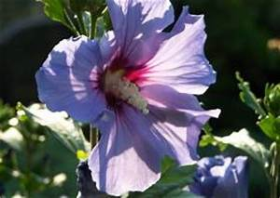 Wie Kirschlorbeer Schneiden : eibisch hibiscus syriacus auch garteneibisch gartenhibiskus roseneibisch syrischer ~ Markanthonyermac.com Haus und Dekorationen