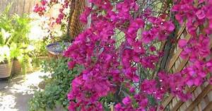 #3 Of course.. the fabulous bougainvillea. Trained against ...