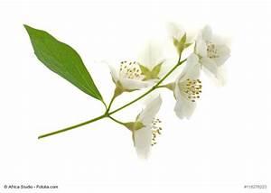 Jasmin Pflanze Pflege : jasmin pflanzen pflege berwintern ~ Markanthonyermac.com Haus und Dekorationen