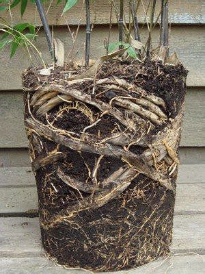 growing bamboo in containers growing bamboo in container space gardening space gardening 4105