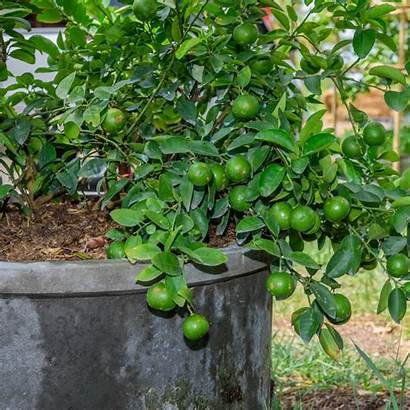 Citrus Trees Coffee Grounds